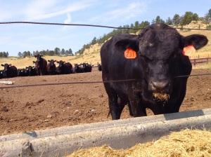 Bull eating