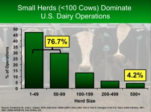 Small cows dominate