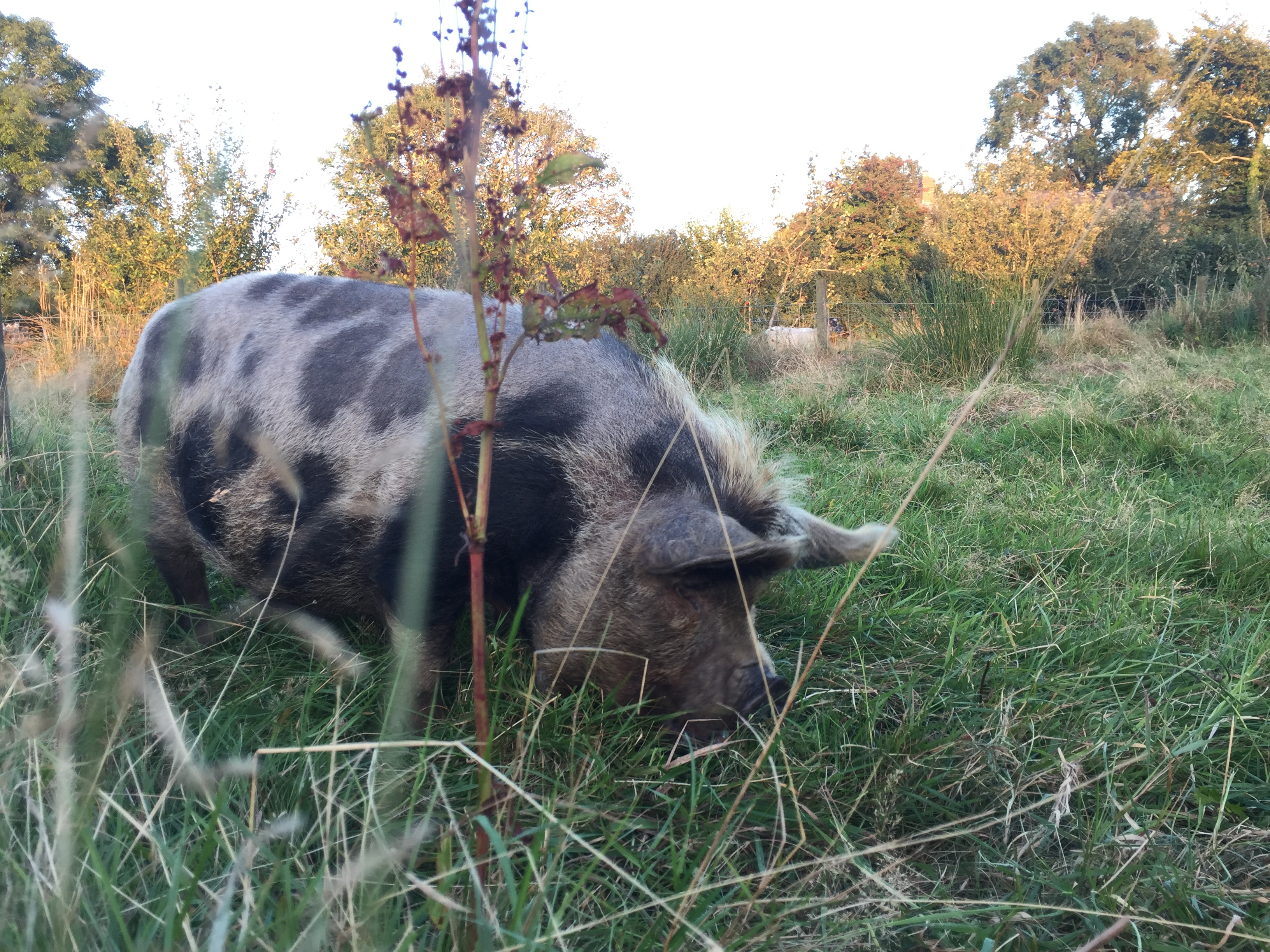 Daisy the pig